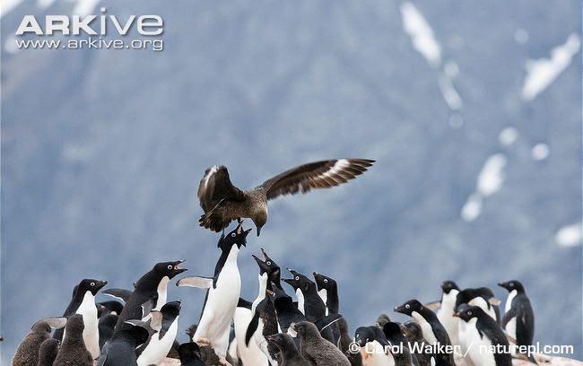 interacciones entre las aves marinas de Argentina Pinguinos y escuas