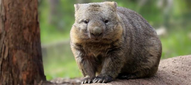 Wombats y marsupiales