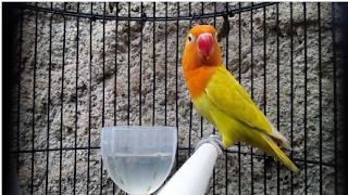 Jenis Love Bird Dan Harganya Dari Yang Termurah Hingga Yang Termahal