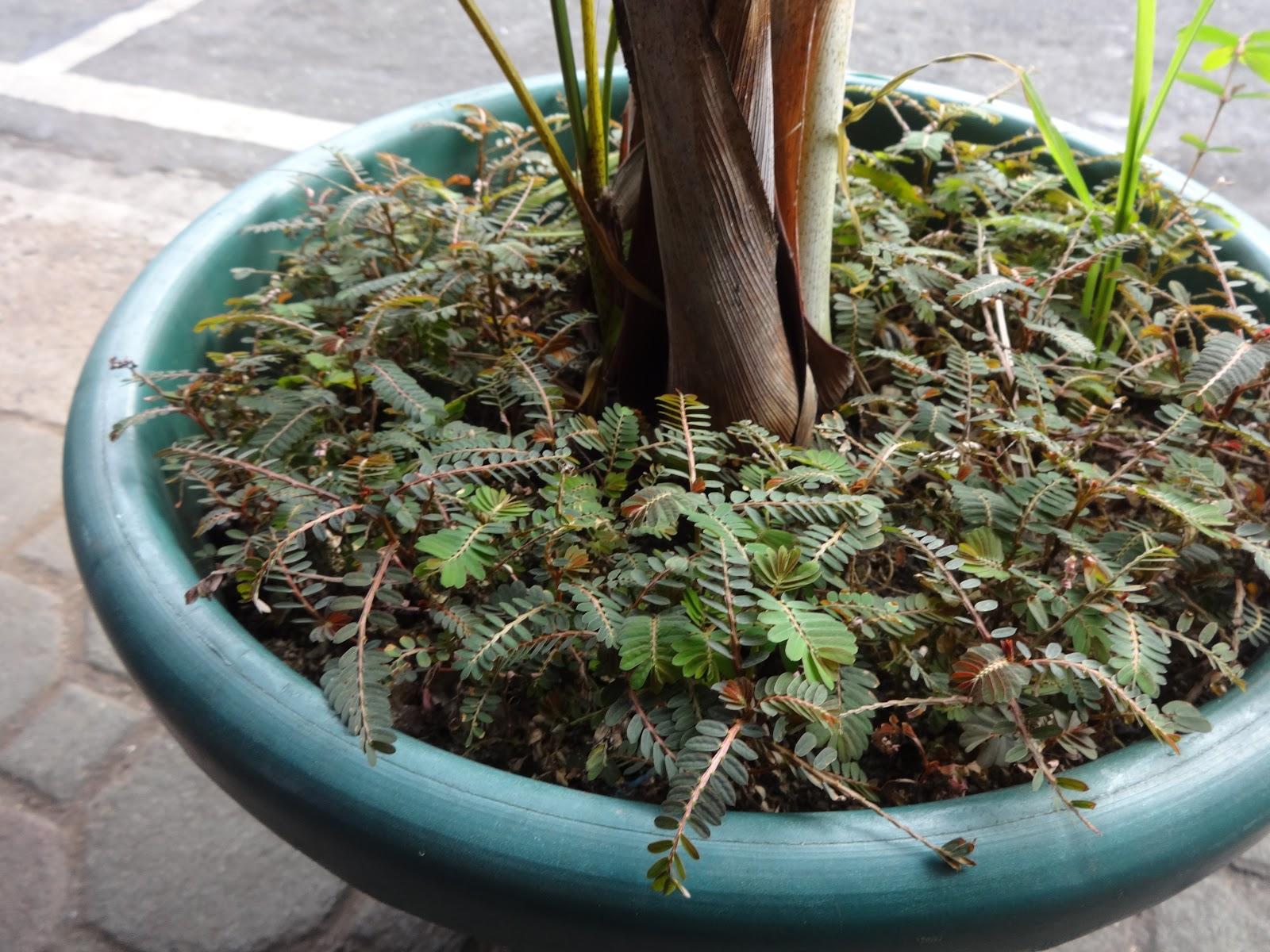 Phyllanthus niruri for hepatitis b