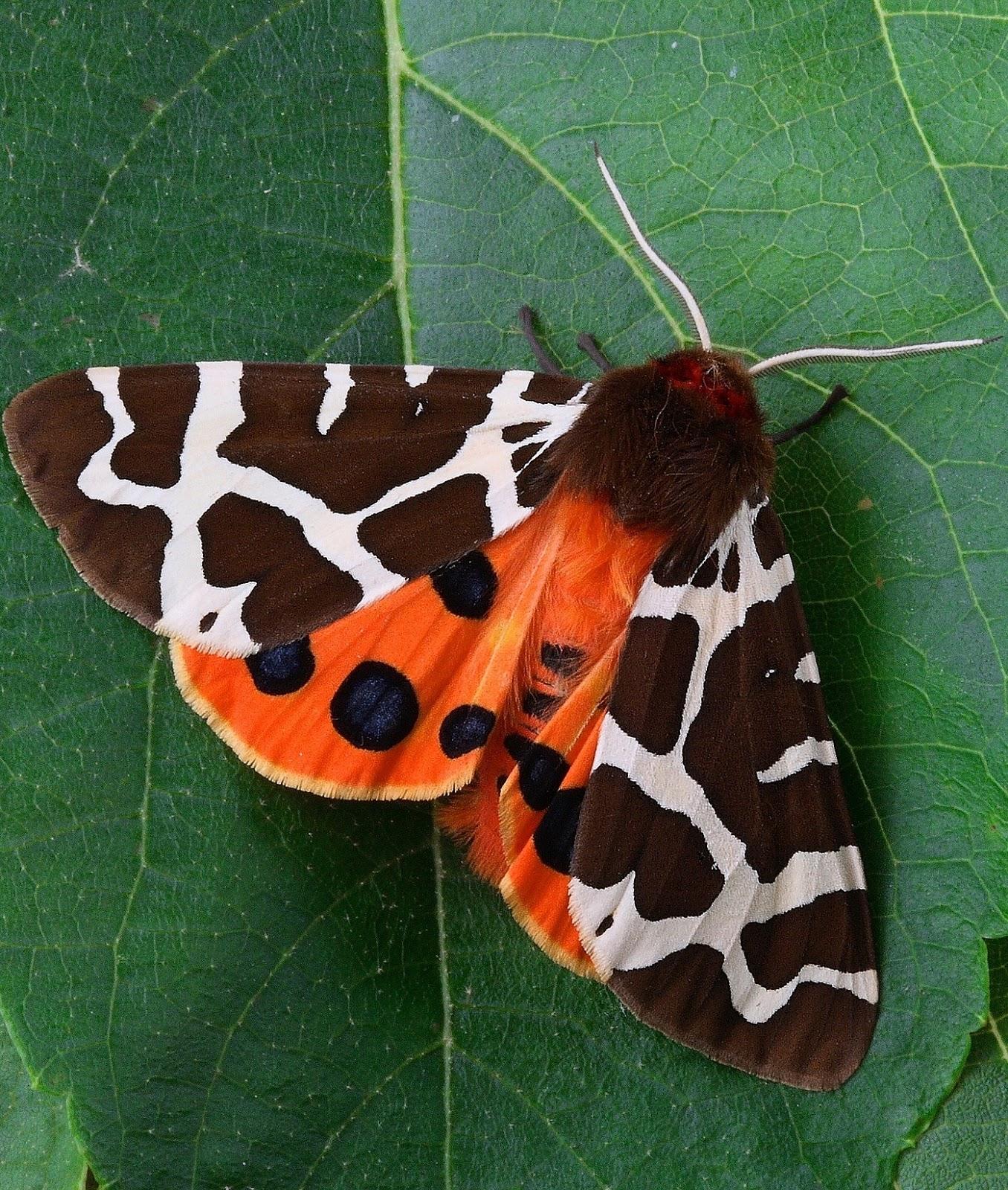 A garden tiger moth on a green leaf.