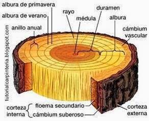 Lectura de anillos en un corte de tronco de árbol