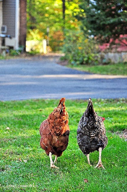 backyard chickens of Cobble Hill Farm