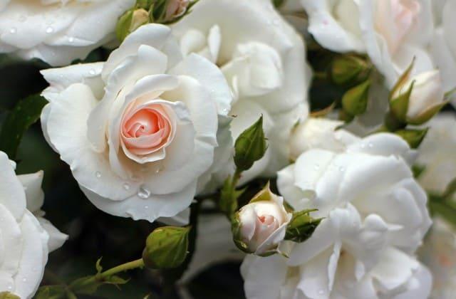 bunga mawar putih anggun