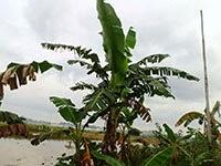 http://indonesian-herbal-medicine.blogspot.com/2014/11/bananas-for-herbal-medicine.html