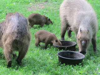 High Park Capybara Family.