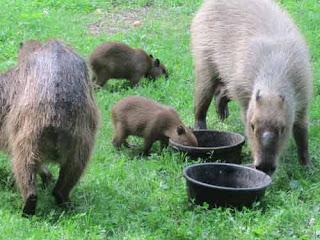 High Park Capybara Family.