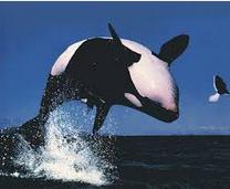 OrCiri Ciri Lumba Lumba Dan Gambar cinus orca
