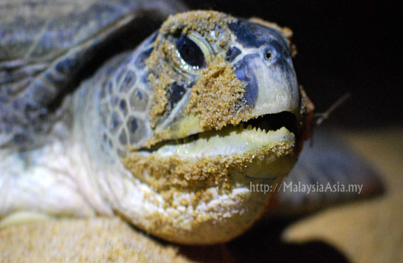 Turtle Crying after Laying Eggs Video