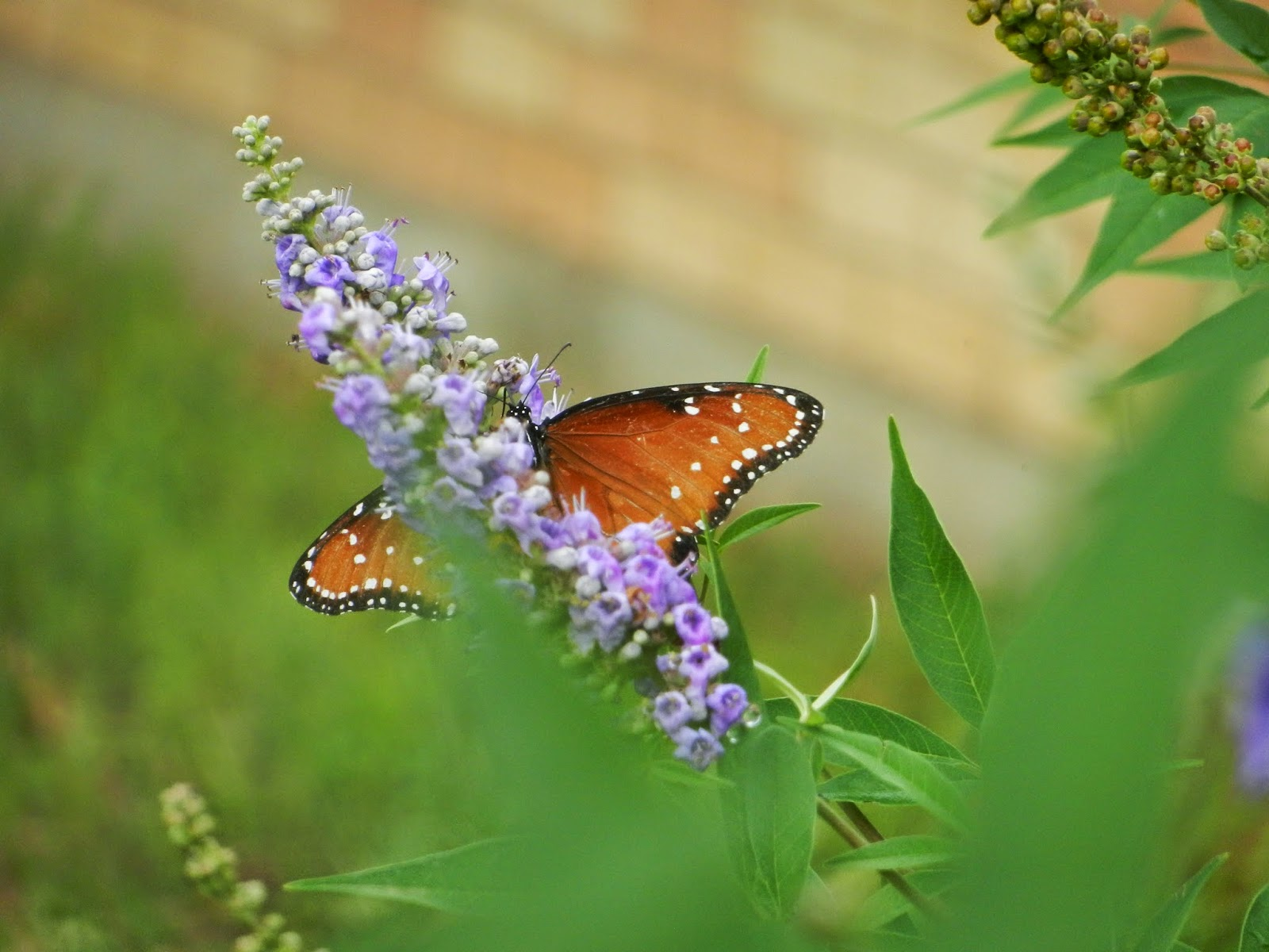 autumn butterfly lilacs