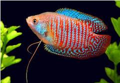 Ikan Hias Lace Gourami sirip biru