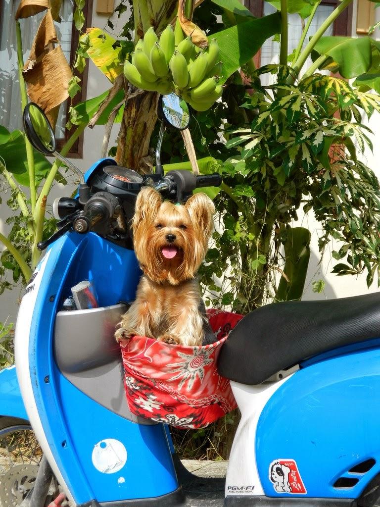 Улыбчивая собака на скутере