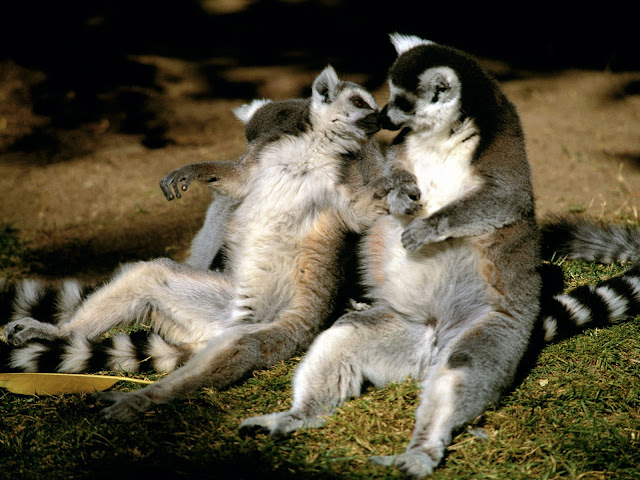 Lemur facts and information 11