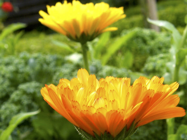 Golden Calendula and Winterbor Kale in the Potager