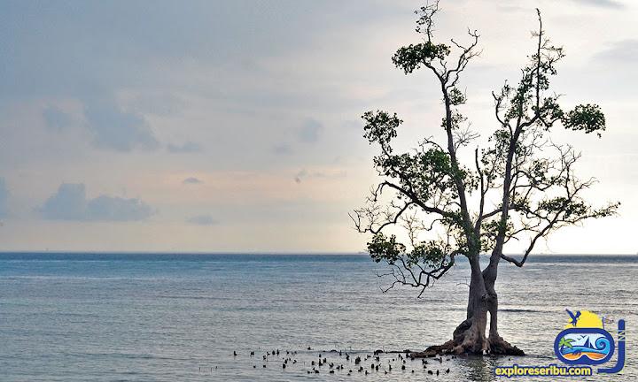 pohon tunggal di pulau sebira - pulau harapan