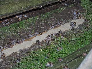 Escargots en cours d'alimentation (P6)