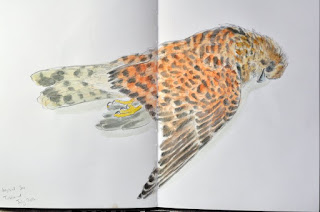 Watercolour study of a kestrel