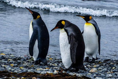 Penguin - Animals With Letter P