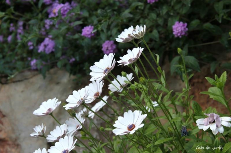 Osteospermum y lantana