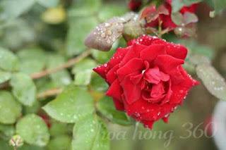 hoa hồng leo hải phòng