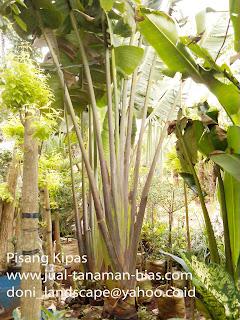 Jual Pisang Kipas | Tanaman Hias Pisang Kipas | Pohon Pisang Kipas