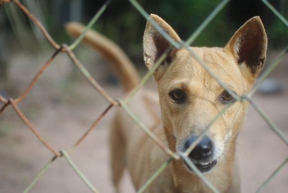 Hình ảnh một chú chó ở trại chó Phú Quốc