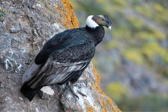 Condor kuşu