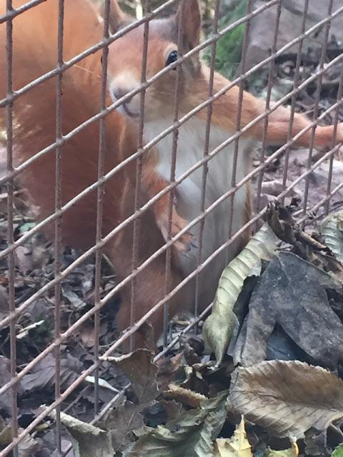 South Lakes Safari Zoo red squirrel