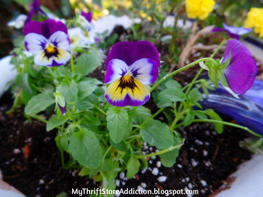 Violas in the fall