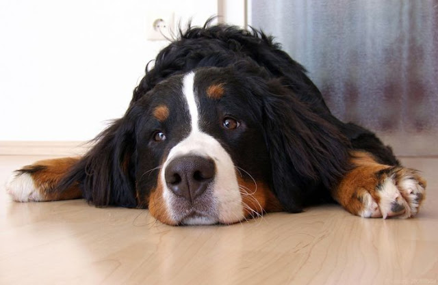 Bernese mountain dog resting on the floor. What they do best. Biped versus Quadruped. marchmatron.com