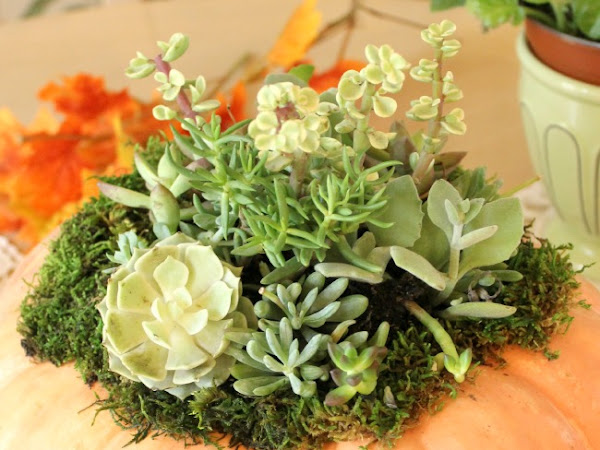 How to Plant Succulents on top of Pumpkins