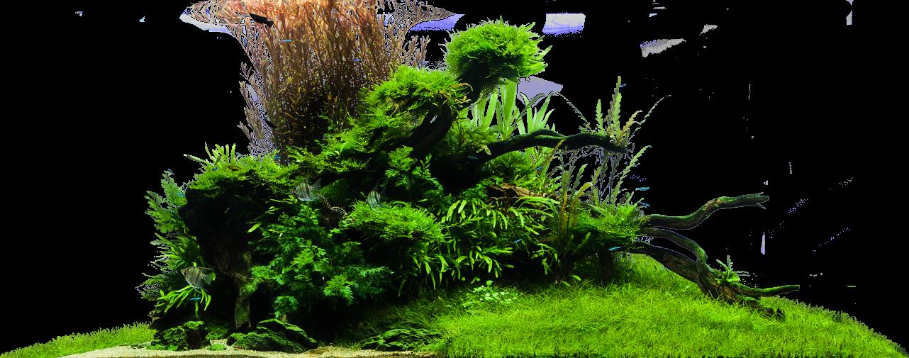 ngưu mao chiên được làm thảm cỏ trong hồ thủy sinh