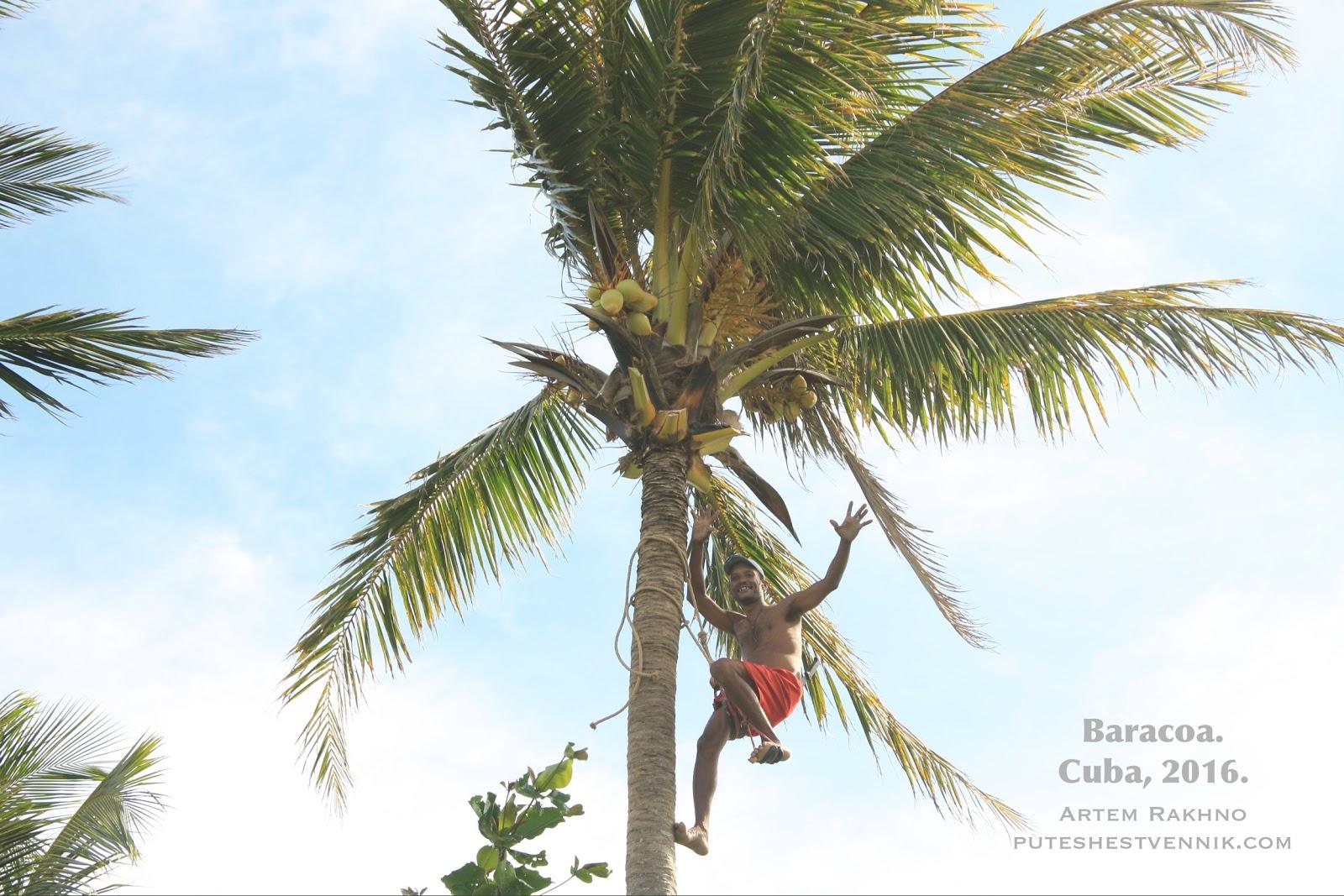 Собиратель кокосов улыбается на пальме