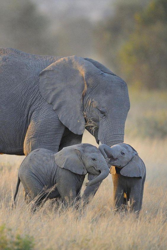 ღღ Twin elephant calves. Amboseli National Park, Kenya | ©Diana Robinson