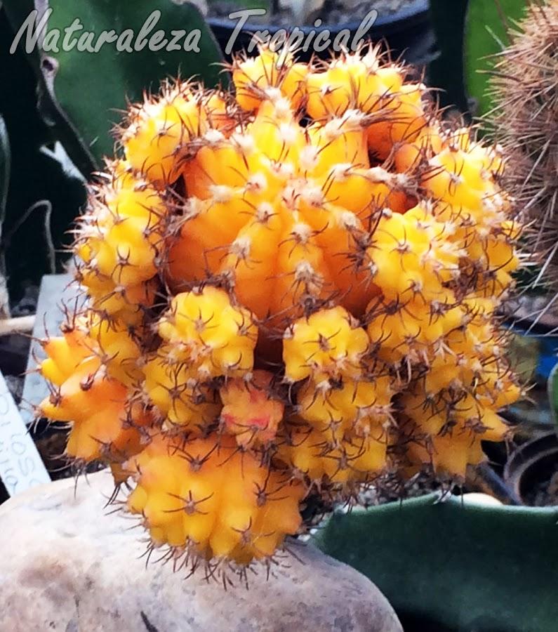 Cactus con numerosas plantas hijas, color amarillo, Gymnocalicium mihanovichii