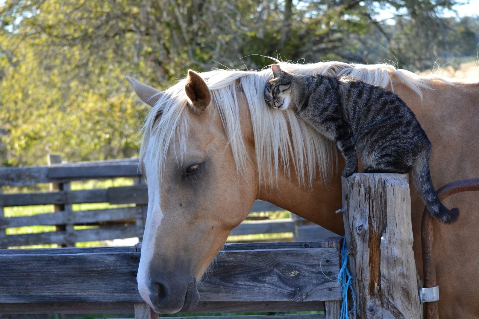 https://2.bp.blogspot.com/-gL5DqY0ZfTs/VrayY3P5pbI/AAAAAAAAFrU/97zQgKy82X0/s1600/beautiful-white-horse-images-with-sweet-cat.jpg