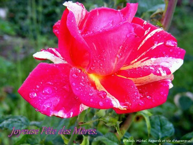 Fête des Mères, Photos de Roses