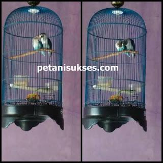 Ciri-ciri lovebird sudah jodoh