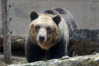 Ursus arctos yesoensis