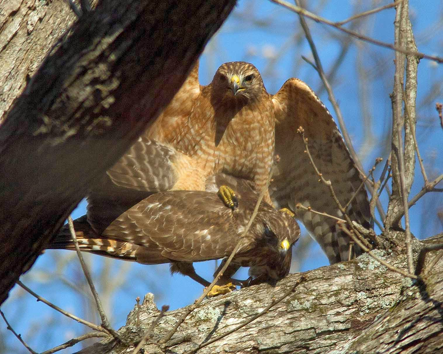 Exploring Nature in NC: Hawk Amour - Mating Red-shouldered ...