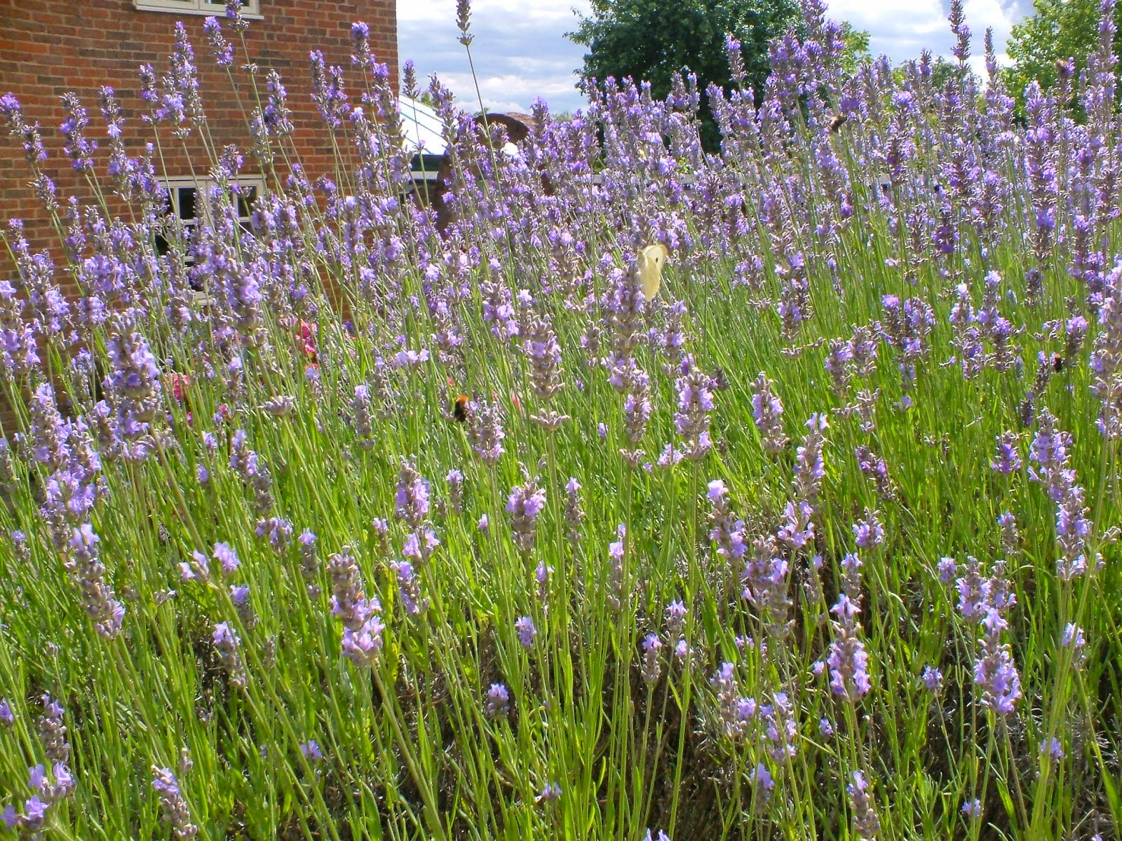 Picture of Mauve English lavender hidcote blue in a border