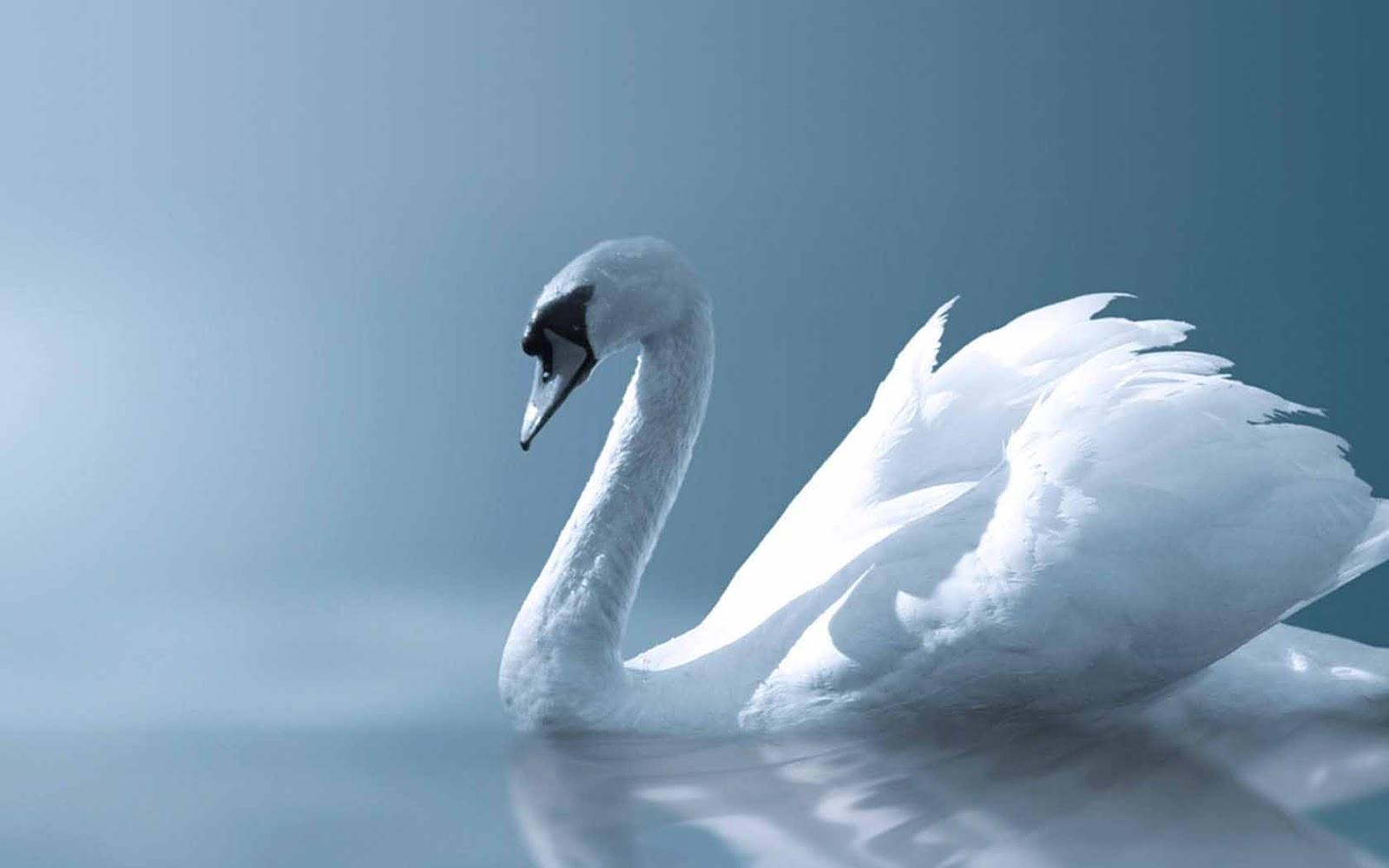 Hq wallpapers white swan wallpapers - Swan wallpapers for desktop ...