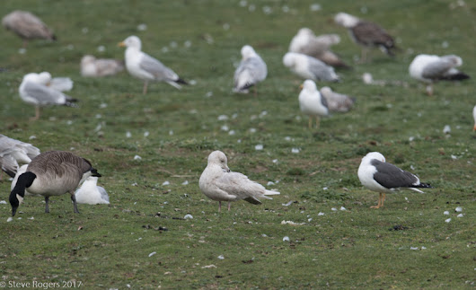 Iceland Gulls at Hayle and St Gothians today