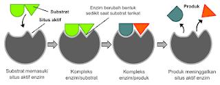 Inilah Faktor Yang Mempengaruhi Laju Reaksi Enzimatik