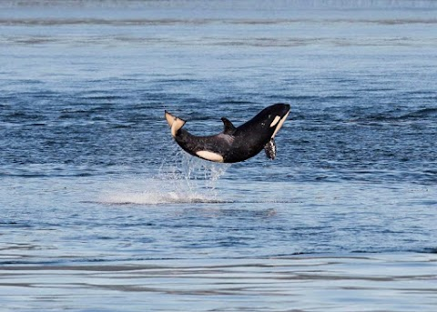 A kardszárnyú delfinek eddig ismeretlen faját fedezhették fel
