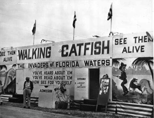 Report from the Florida Zone: The Walking Catfish - photo#35