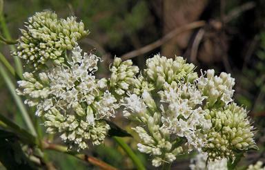 Mikania periplocifolia