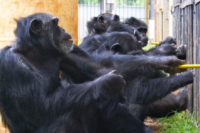 Chimpanzee study challenges distinctiveness of human cooperation