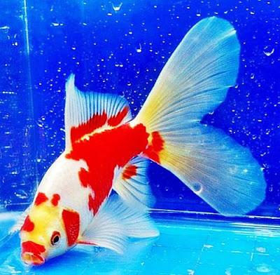 Gambar Ikan Mas Koki Komet