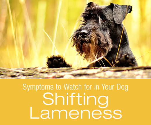 Symptoms to Watch for in Your Dog: Shifting Lameness